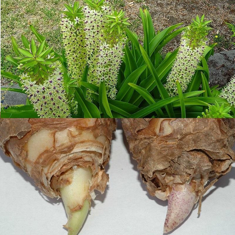 так выглядит луковица анансной лилии