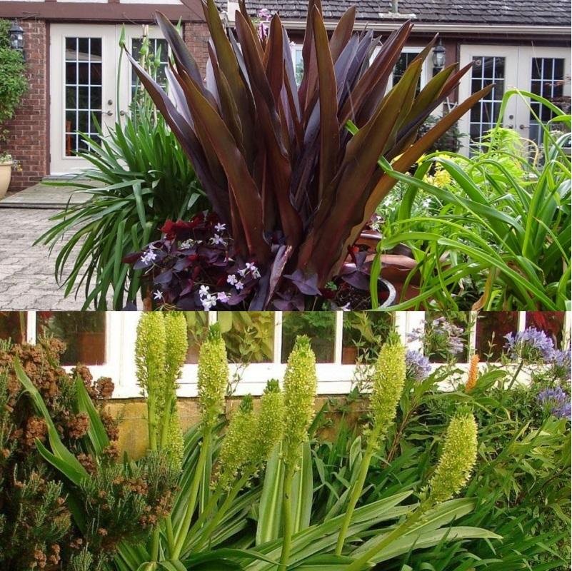 ананасная лилия в ландшафтном дизайне - примеры на фото