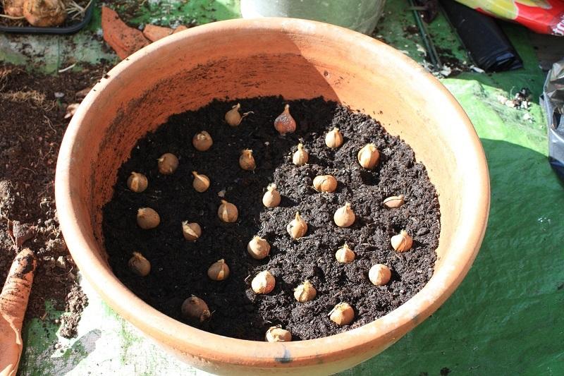 Подготовка гладиолусов к посадке: рассада и проращивание (сроки в 2018 году)
