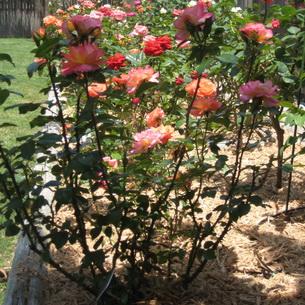Конский навоз для роз