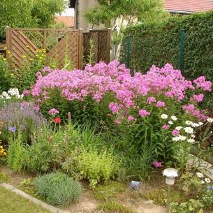 Флоксы метельчатые в дизайне сада