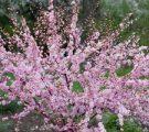 мурайя квітка