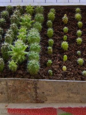Кактусы выращивание из семян в домашних условиях 287