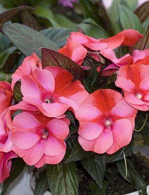 Blühende Zimmerpflanzen Foto Und Name Beschreibung Einiger Blumen