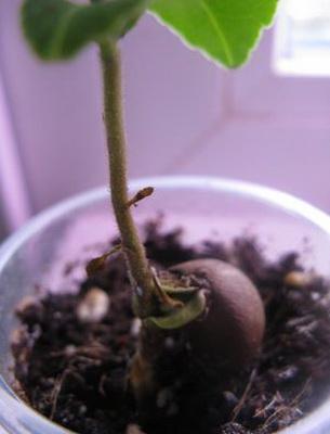 Как сажать семя чая 183