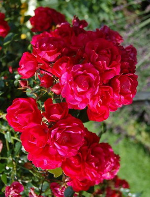 розы со знаком качества adr