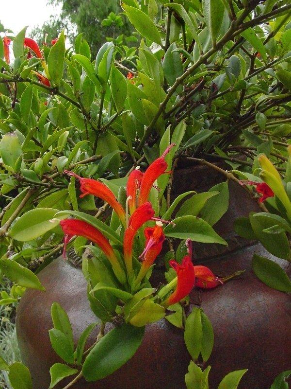 Lipstick plant уход и выращивание 53