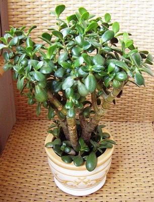 Денежное дерево болезни на стеблях бугорки