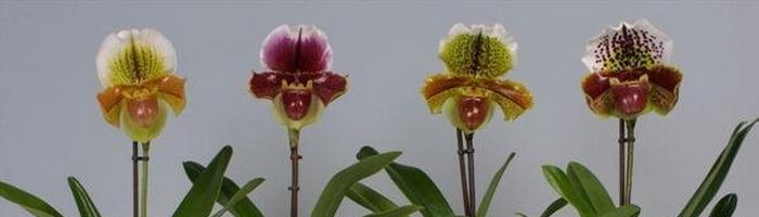 Pafopedilum Orchidee Frauenschuh Artenbeschreibung Hauspflege
